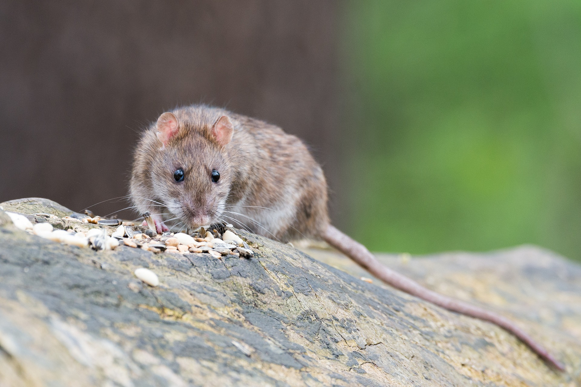 brown-rat-2115585_1920
