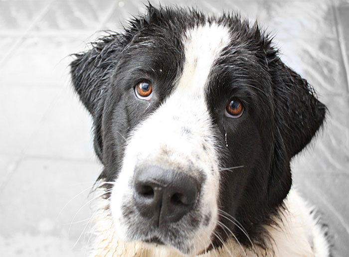Pas na kiši